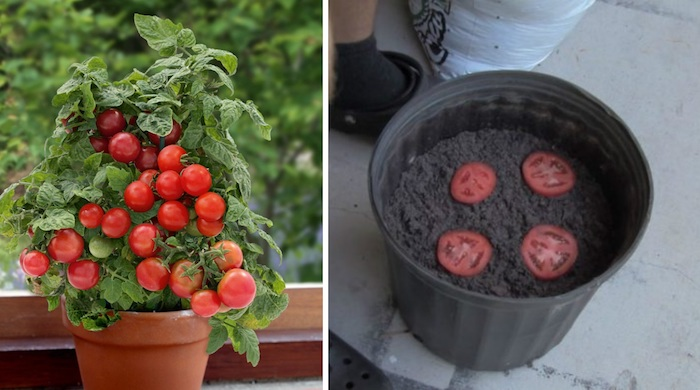 До безобразия простой способ, как вырастить томаты прямо дома