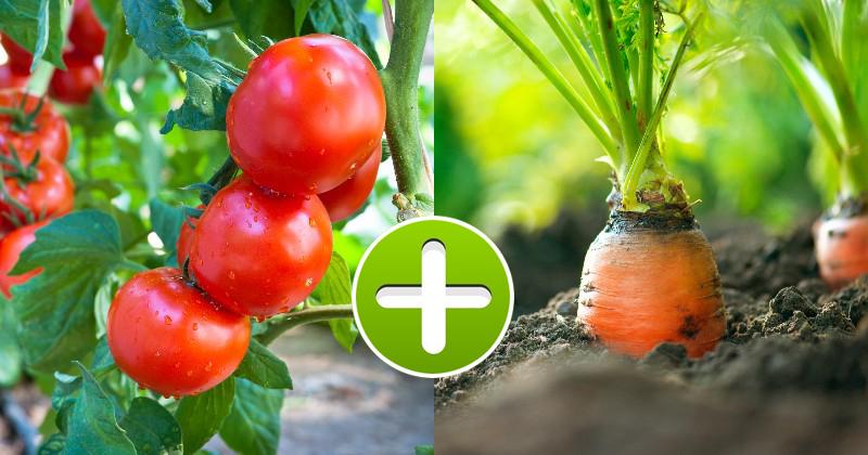 Помидоры ненавидят огурцы: растения-компаньоны на одной грядке + таблица совместимости овощей. Какие овощи и цветы стоит посадить рядом?