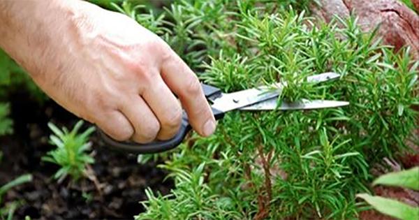 Самая сильная трава для мозгового кровообращения! Для сердца, сосудов, надпочечников и суставов…