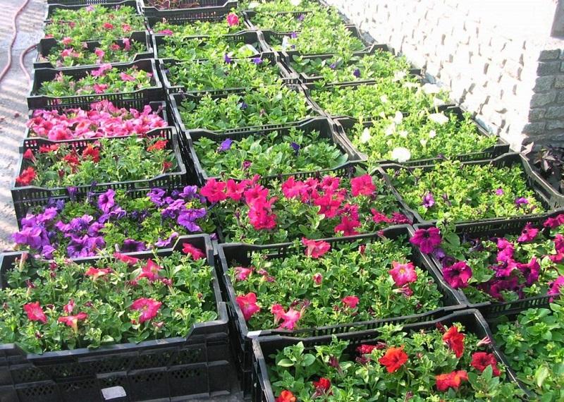 Три вида подкормки для домашних петуний. Буйное цветение гарантированно! Такая красота — глаз не отвести.