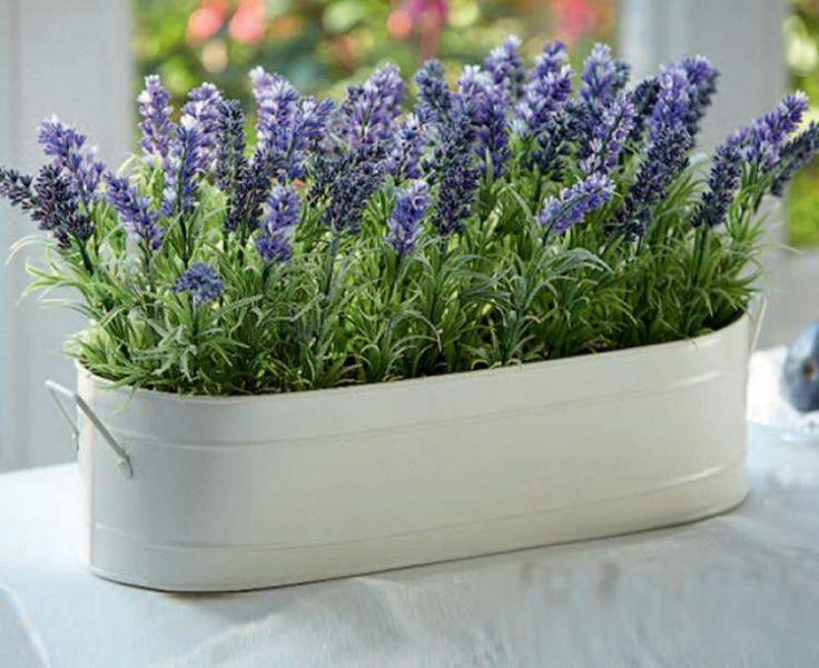 Выращиваем неподражаемо эффектную и «вкусную» лаванду прямо на подоконнике